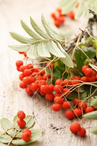 Sprigs of rowan berries