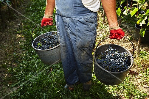 Red wine grapes being sorted in a vineyard