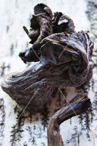 An arrangement of funnel chanterelles on a piece of birch bark
