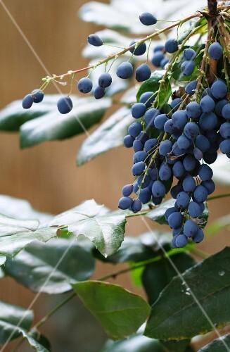 Mahonia berries on a bush