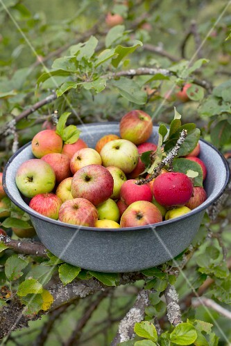 Freshly harvested organic apples from an orchard in a grey enamel bowl with apple tree branches