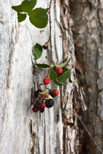 Sprig of blackberries hanging on trunk of old tree