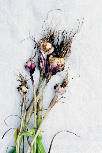Freshly harvested organic garlic with soil on a linen cloth