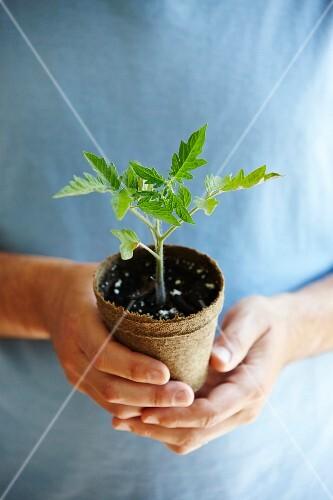 A mini tomato plant in a compostable pot