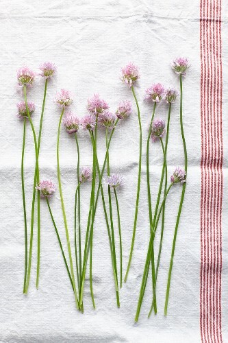 Fresh chive flowers on a tea towel (seen from above)