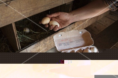 A man collecting eggs from a chicken coop