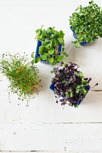 Various fresh sprouting herbs
