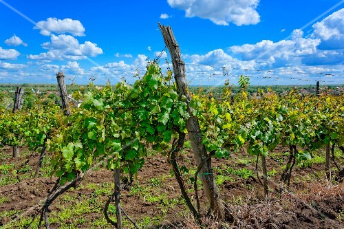 Welschriesling vines in Abasár, Hungary
