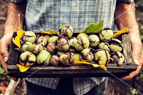 A person holding a wooden dish of freshly harvested walnuts