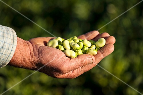 A farmer holding freshly harvested broad beans