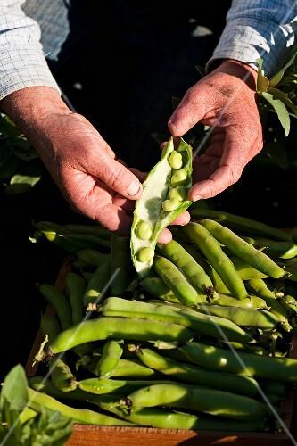 A farmer holding freshly harvested broad beans