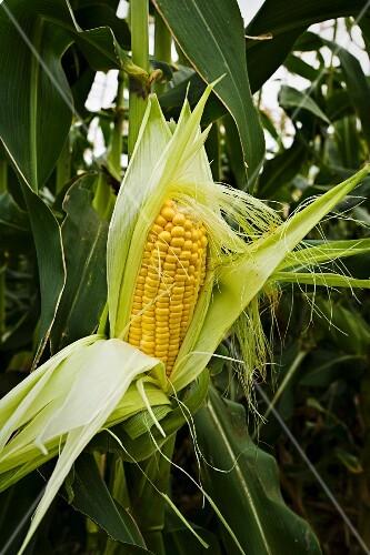 A fresh corn cob in a field