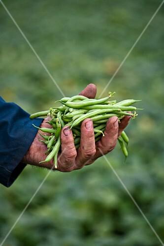 A farmer holding freshly harvested green beans