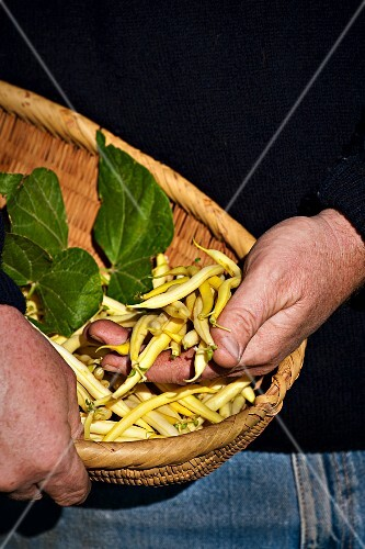 A farmer holding a basket of freshly harvested yellow beans
