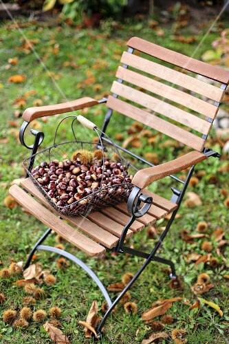 Wire basket of sweet chestnuts on garden chair