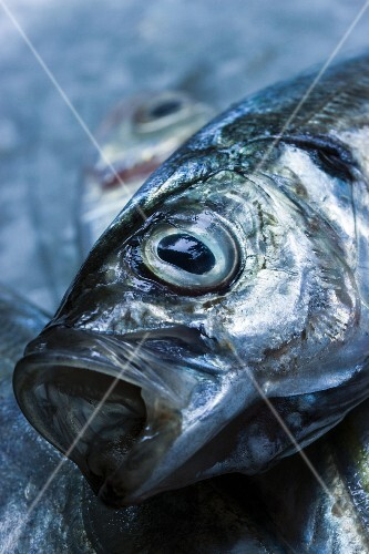 Kopf einer Makrele close up