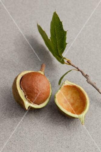 A fresh macadamia nut
