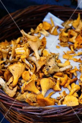 Fresh chanterelle mushrooms in a basket