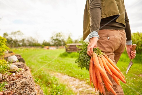 A woman in a field carrying a bundle of freshly harvested carrots