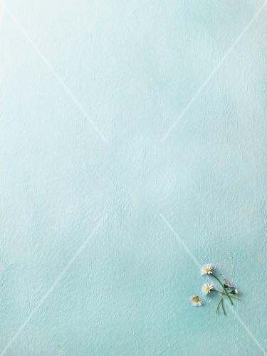 Fresh daisies on a light-blue surface