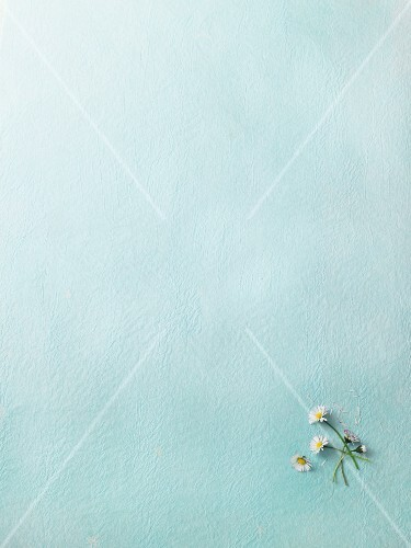 Fresh daisies on a light-blue surface