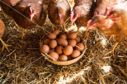 Hühnereier im Korb zwischen lebendigen Hühnern