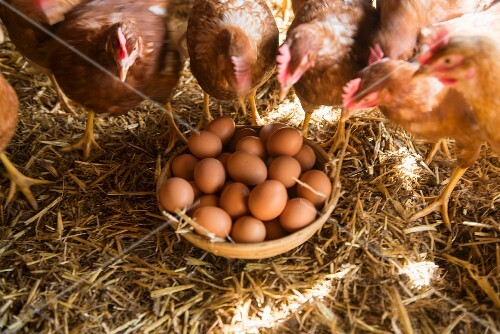 Hen's eggs in a basket with live hens