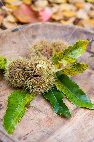 Chestnuts with leaves on a wooden plate