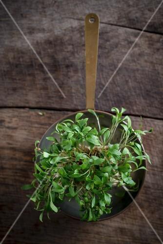 Fresh coriander shoots in a copper pot