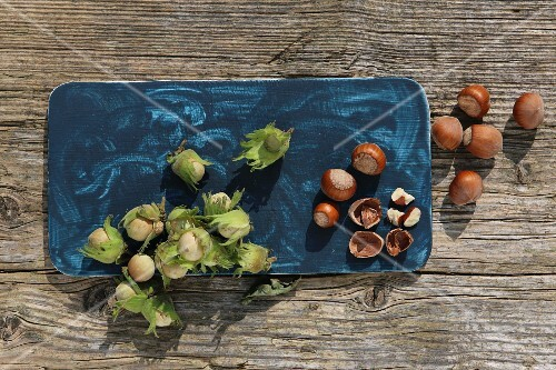 Green hazelnuts from a bush and ripe brown hazelnuts with one cracked