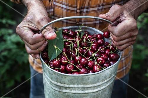 Hands holding a metal bucket of cherries