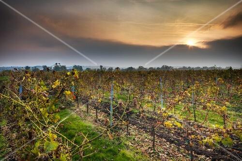 A vineyard in the evening sunshine
