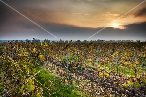 A vineyard in the evening sunshine