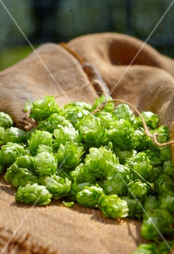 Fresh hops on a jute sack
