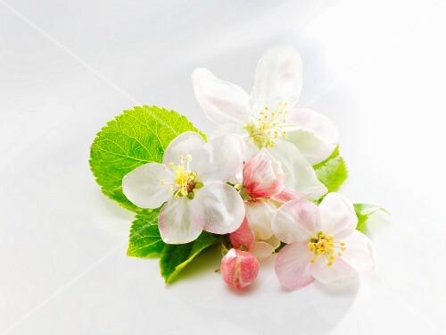 Apple blossom and apple leaves