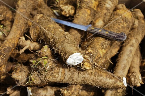 Freshly harvested horseradish