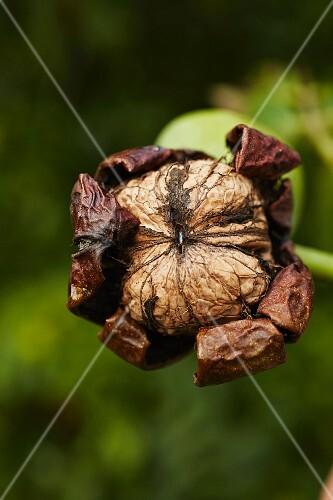 A walnut hanging on a tree