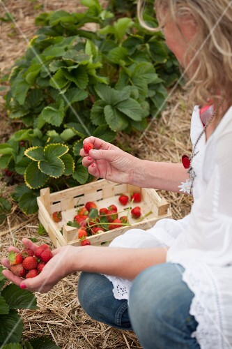A woman picking strawberries in a field