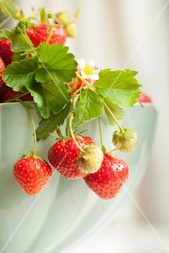 Strawberries on sprigs hanging over the edge of a porcelain bowl