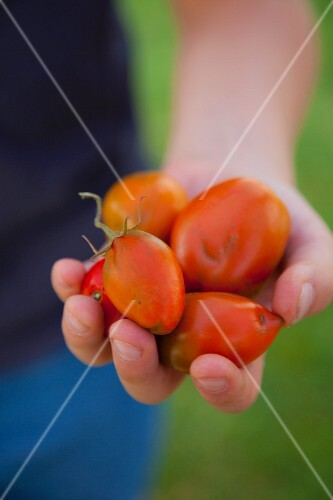 A person holding freshly harvested tomatoes