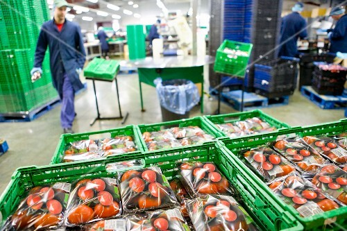 Workers in a packaging factory for tomatoes