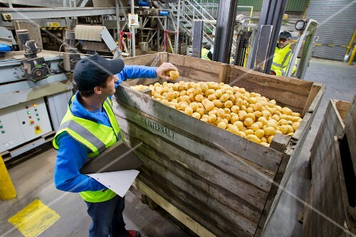 A quality control worker checking potatoes