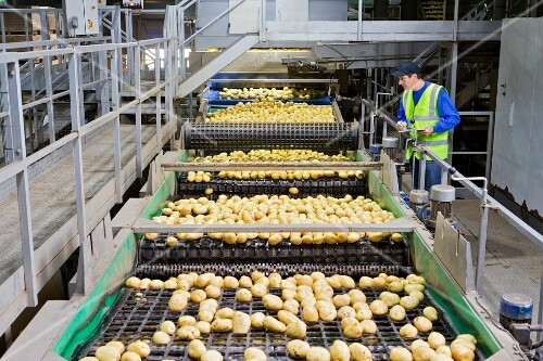 Quality-control worker checking potatoes on a conveyor belt in a factory