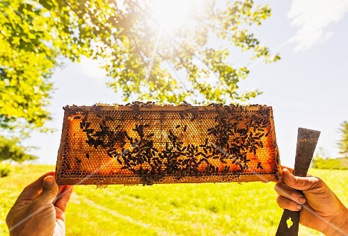 A beekeeper holding honeycomb from a beehive up to the sun