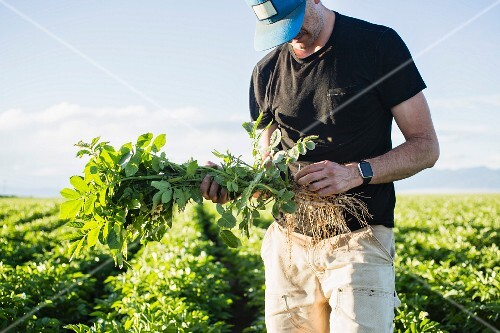 A man checking the quality of potato plants in a field