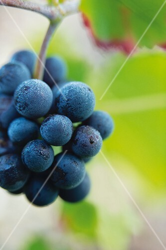 Pinot noir grapes, Champagne, France