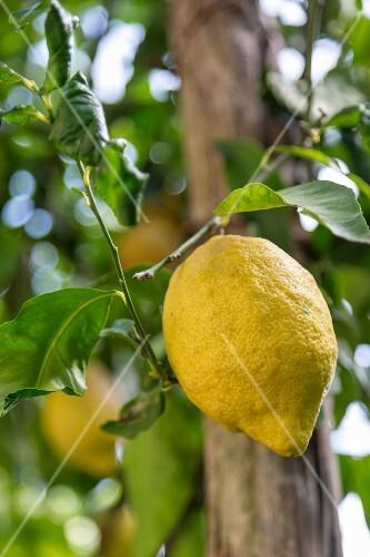 A ripe lemon on a tree