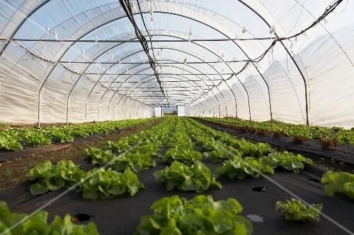 Lettuce in a greenhouse