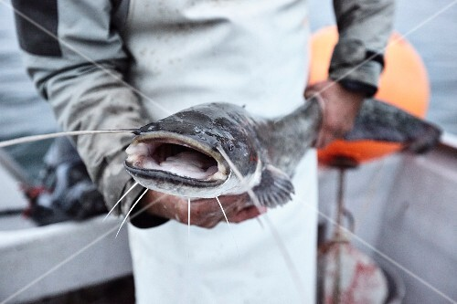 A fisherman on Lake Constance with a freshly caught catfish