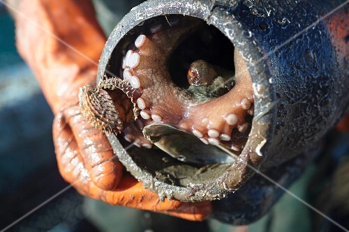 A fisherman holding an octopus in a catcher pot, Southern France